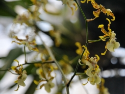yellow_orchids_closeup